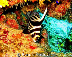 Spotted Drum seen in Grand Cayman August 2008.  Photo tak... by Bonnie Conley 
